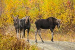 Maine Fall Foliage Moose Watching