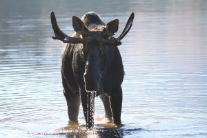maine moose safari