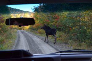 moose tours by van