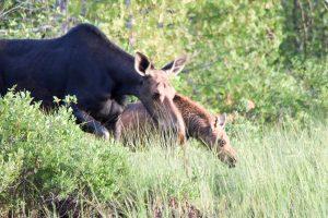 moose-tours