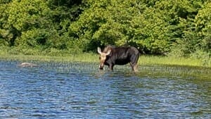A Moose Wading in Water