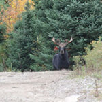 Moose in a Forest
