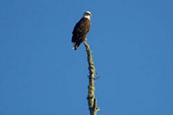 Bald Eagle on Top of a Tree in Maine