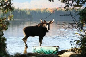 Bull Moose standing in water on moose tour in maine