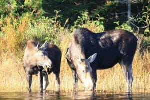 Moose Drinking Out of a River in Maine
