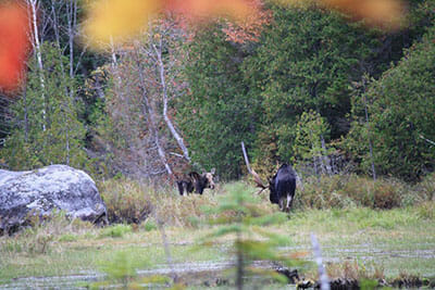 Two moose spotted during Maine moose tour.