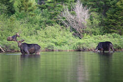 Moose Wading in a Lake in Maine